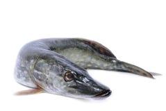 Isolerad fiskpik Arkivfoton