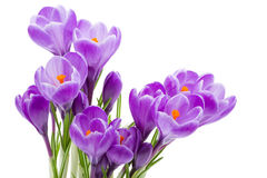isolerad fjäderwhite för krokus blommor Royaltyfri Bild