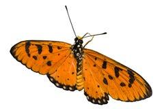 Isolerad fjäril Arkivbild