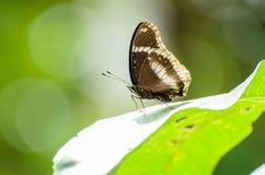 isolerad fjäril Royaltyfria Foton