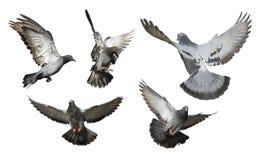 Isolerad flock av duvaflyget royaltyfri bild