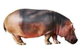 isolerad flodhäst Arkivbilder