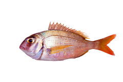 Isolerad gemensam fisk för pagrus för havsbream Royaltyfria Foton