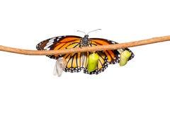 Isolerad gemensam tigerfjäril som dyker upp från puppan som hänger på tw Royaltyfri Fotografi