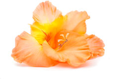 Isolerad gladiolus Arkivfoto