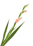 Isolerad gladiolus Royaltyfri Bild