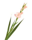 Isolerad gladiolus Arkivbild