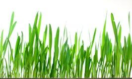 isolerad gräsgreen Arkivbild