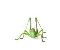 isolerad gräshoppawhite Royaltyfri Bild