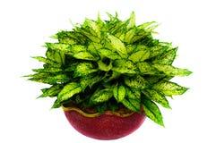 Isolerad gräsplan lämnar houseplanten Royaltyfria Bilder