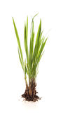 Isolerad grässtarrgräs Royaltyfri Foto