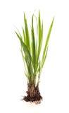 Isolerad grässtarrgräs Royaltyfria Foton