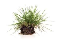 Isolerad grässtarrgräs Royaltyfri Fotografi