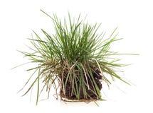 Isolerad grässtarrgräs Royaltyfri Bild