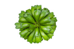 Isolerad grön kaktus, bästa sikt för grön bladväxt på vit, Eupho Royaltyfria Bilder