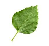Isolerad grön leaf Arkivbild