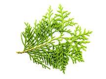 Isolerad grön leaf Royaltyfria Foton