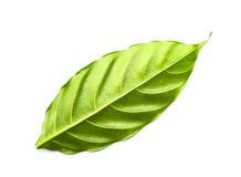 Isolerad grön leaf Royaltyfri Bild