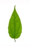 Isolerad grön leaf Arkivbilder