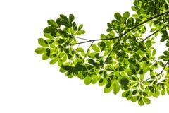 Isolerad grön leaf med clippingbanan Arkivbild