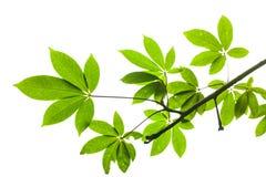 Isolerad grön leaf med clippingbanan Arkivbilder