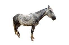 Isolerad grå häst Arkivbilder