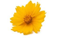 Isolerad gul blomma royaltyfria bilder