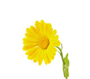 Isolerad gul calendula Arkivbilder