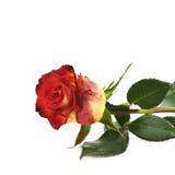 Isolerad gul röd ros för singel Royaltyfri Bild
