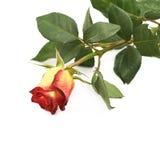 Isolerad gul röd ros för singel Royaltyfri Foto