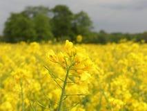 Isolerad gul rapsfröblomma med fältet i bakgrund arkivbild