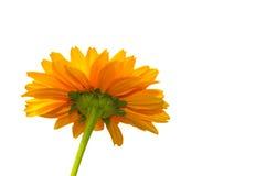 Isolerad gul sunblomma Royaltyfri Fotografi