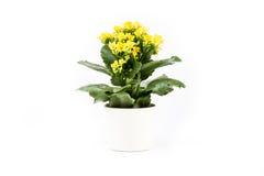Isolerad gul växt i en vit kopp Arkivbild