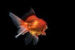 Isolerad guld- fisk Arkivfoto