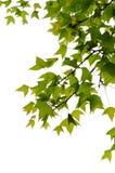 Isolerad hängande leaf Arkivbild