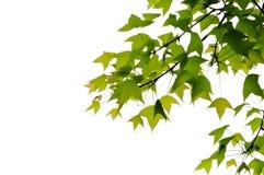 Isolerad hängande leaf Arkivfoto