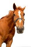 isolerad häst Royaltyfri Foto
