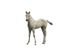 isolerad häst Fotografering för Bildbyråer