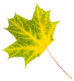 Isolerad höstbladlönn Arkivfoton