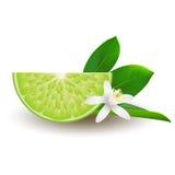 Isolerad halva av saftig grön limefrukt för cirkel med den vita blomman, det gröna bladet och skugga på vit bakgrund Realistisk k Arkivbild