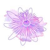 Isolerad hand dragen lilaöversiktsblomma av passionsblomman, passiflora på rosa violett vattenfärgfläck Tryck av kurvlinjer royaltyfri illustrationer