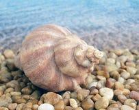 isolerad havswhite för bakgrund cockleshell Royaltyfria Bilder