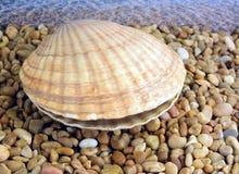 isolerad havswhite för bakgrund cockleshell Arkivfoton