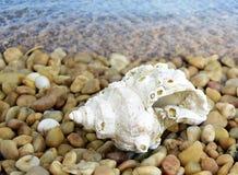 isolerad havswhite för bakgrund cockleshell Royaltyfri Fotografi