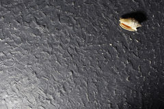 isolerad havswhite för bakgrund cockleshell Royaltyfri Foto