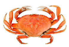 Isolerad hel Dungeness krabba Royaltyfria Bilder