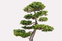 Isolerad Hikoni cypress Bansai på vit bakgrund Fotografering för Bildbyråer