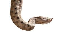 Isolerad horned huggorm för näsa Royaltyfri Bild