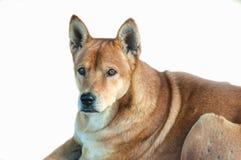 isolerad hund Fotografering för Bildbyråer