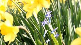 isolerad hyacint arkivfilmer
